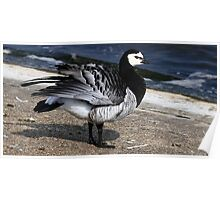 Barnacle Goose Poster