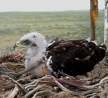 Ferruginous Hawk Nestling by WildlifeChick85