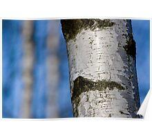 Birch tree. Kraków.Poland . by Brown Sugar  . Views (277) favorited by (3) thanks ! Poster