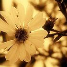 La Fleur de Sol  by lilynoelle