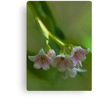 Beautiful Spreading Dogbane Canvas Print