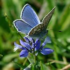 Common Blue on Blue by nickyv33