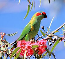 Musk Lorikeet by mosaicavenues
