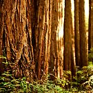 Redwood Trees | Big Sur, California by bigrhinodog