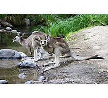 Eastern Grey Kangaroos  Photographic Print