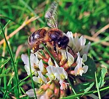 Bee On Flower 0033 by mike1242