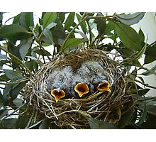 #3 baby Robins with feathers Photographic Print