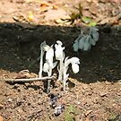 Indian Pipes by CMCetra