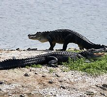 Couple of Gators by Paulette1021