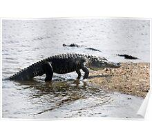 Alligator at Huntington Beach State Park Poster