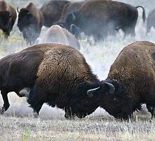 Yellowstone Bison Fighting by Brenda Burget