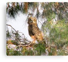 Fledgling - Great Horned Owl 2 Metal Print