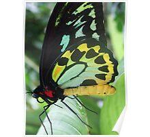 Cairns Birdwing Butterfly - Kuranda, Queensland Poster