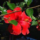 My Hibiscus Tree by davesdigis