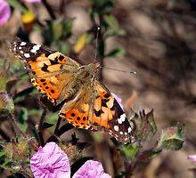 A Painted Lady (Vanessa cardui) by saxonfenken