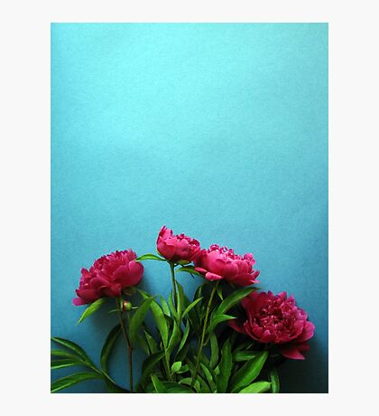bunch of pink peony flowers against blue background Photographic Print