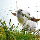 Irish Goat by Philip Cozzolino