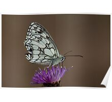 Marbled White on Knapweed Poster