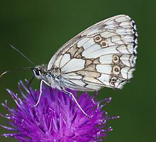 Female Marbled White by Gill Langridge