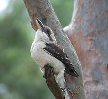 kookaburra on tree by alanball