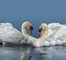 Swan love by Lyn Evans
