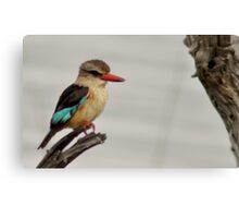 African brown-hooded kingfisher Canvas Print