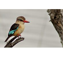 African brown-hooded kingfisher Photographic Print