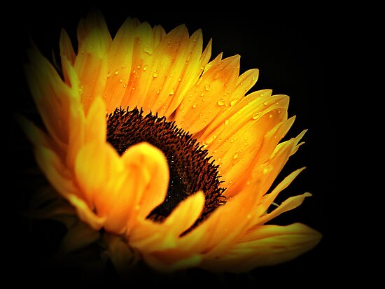Yellow Sunflower. by Aj Finan