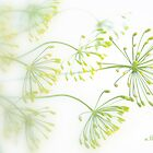 Dill flowers by aMOONy