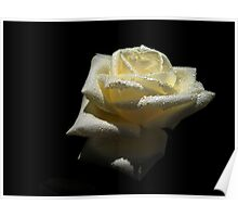 Rose  White Color. Poster