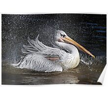 Bathtime For A Pink Backed Pelican - (Pelecanus rufescens) Poster