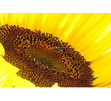 Sunflower hospitality Photographic Print