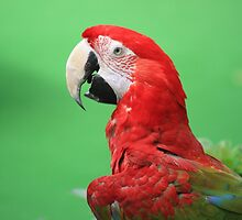 Majestic Macaw by Indrani Ghose