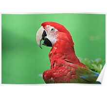 Majestic Macaw Poster