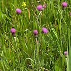 Grassland with Meadow Thistle by steppeland