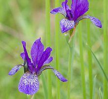 wild irises by Anastasiya Smirnova