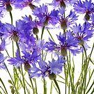 blue cornflowers by Anastasiya Smirnova