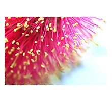 Flinders Bottle Brush Photographic Print