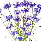 blue cornflowers on white by Anastasiya Smirnova