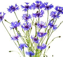 blue cornflowers on white by Anastasiya Smirnova