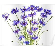 blue cornflowers on white Poster