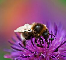 Busy Bee working hard on a wild flower in the Meadow  by Elaine123