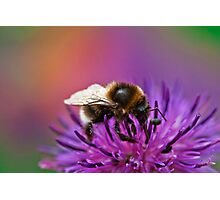 Busy Bee working hard on a wild flower in the Meadow  Photographic Print