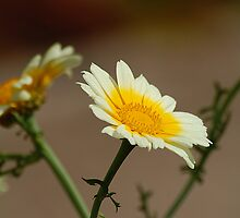 Marguerite Daisy, Patal tumbri, Chrysanthemum frutescens by Declan Carr