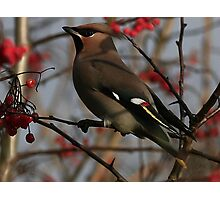 The Waxwing Photographic Print