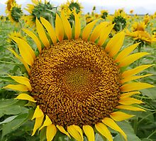 Sunflower by Jagadeesh Sampath