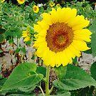 Sunflowers 2 by Jennifer Ingram