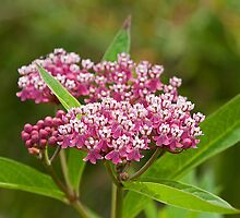 Swamp Milkweed (Asclepias incarnata) by Mike Oxley