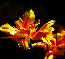 Red and Yellow Flowers with dark background by weaverkjw