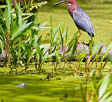 Green Heron - Ottawa, Ontario by Michael Cummings